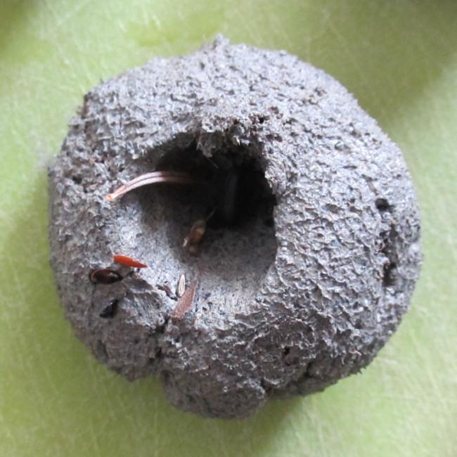 Etape 14 : ajoute tes graines dans tes boulettes. Enfonce les bien au centre, pas comme sur la photo !