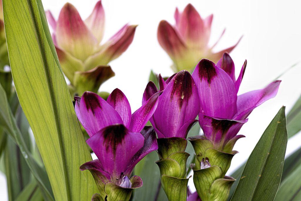 Fleurs de curcuma